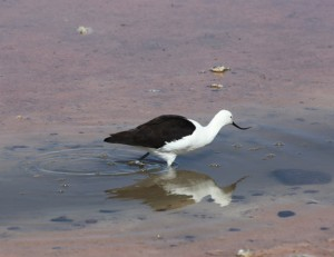 An Andean Avocet in the salt pan