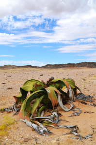 The Welwitschia Mirabilis is the ultimate survivor. Photo Gero Lilleike.png