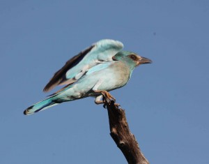 The European Roller will swoop down to feed on insects. Picture: Peter Berg-Munch