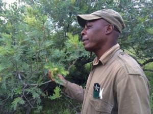 Enoch Ngwenya teaches us all abut the Magic Gwarrie bush.