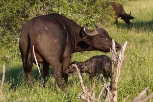 A buffalo is born.