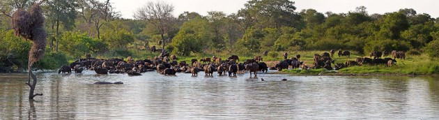Panoramic view of buffalo at Jason's Dam in the Klaserie Reserve.