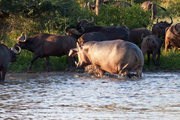The hippo launches at a herd of buffalo.