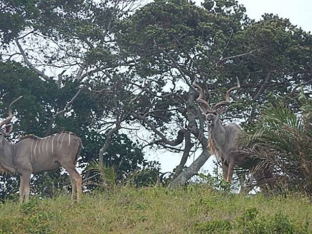 We saw kudu during evening drives into the park.