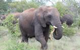 TW Elephant at Makalali