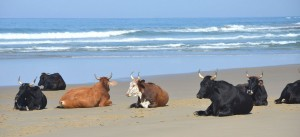 Cows on beaches