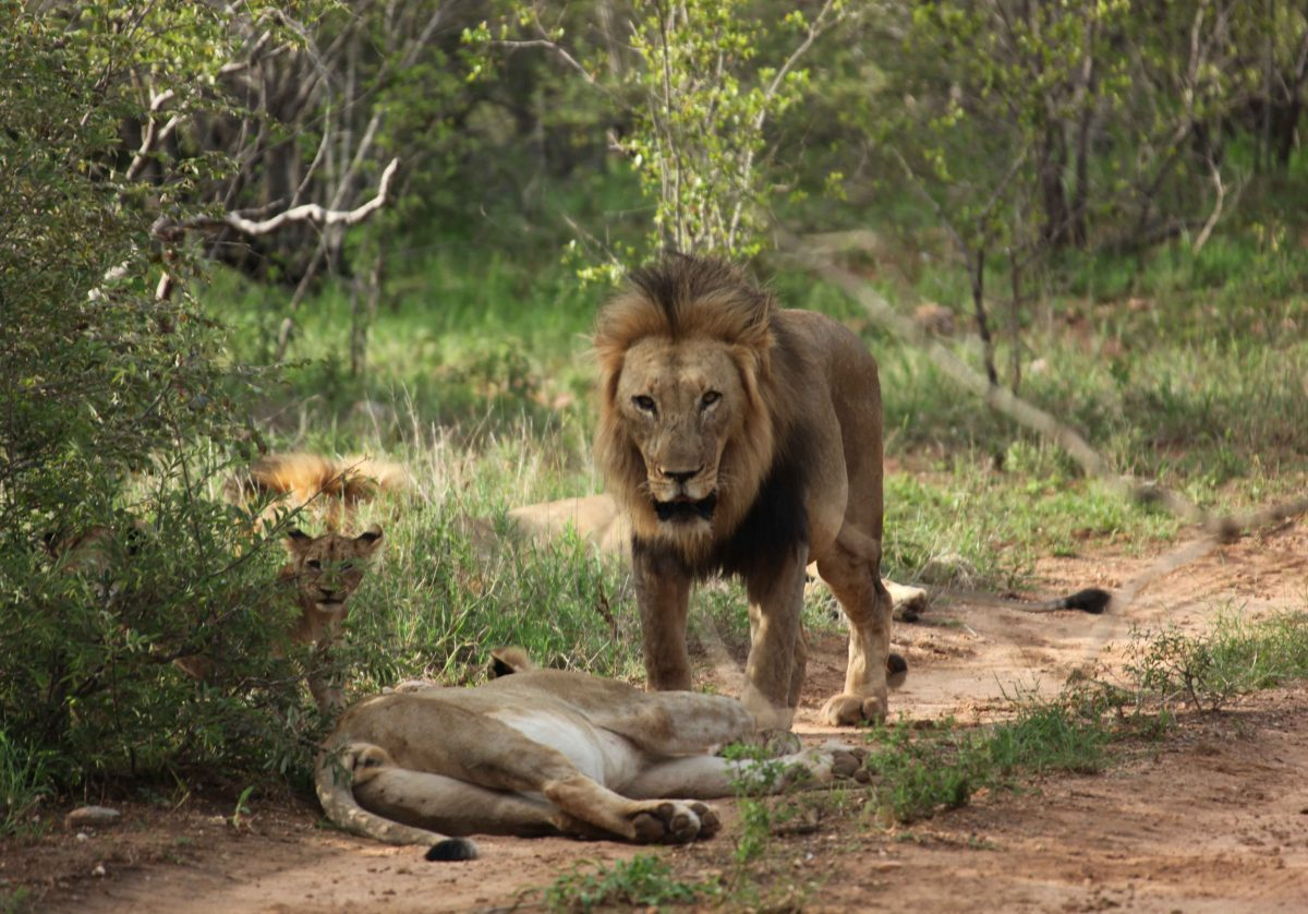 Lion at Makalali Private Game Reserve. Picture: Peter Berg-Munch