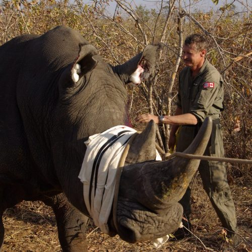 Erik Verreynne working with a rhino in Botswana
