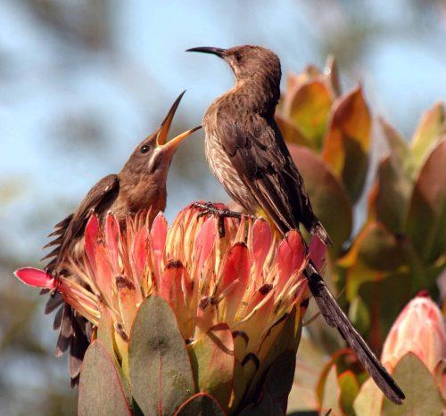 Gondwana Fynbos Conservation Experience