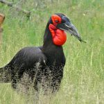 This southern ground hornbill