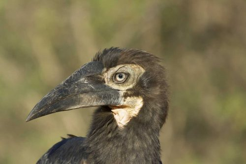 Southern ground hornbill chick