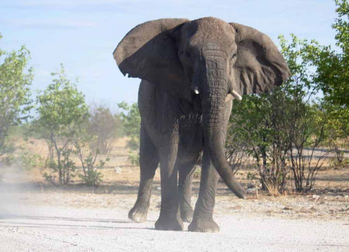 charging elephant bull