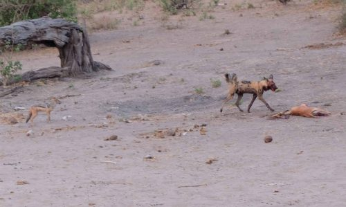 This image of a wild dog in Chobe shows some of the desertification in the area.