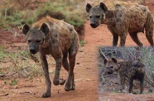 Hyena in Madikwe Reserve