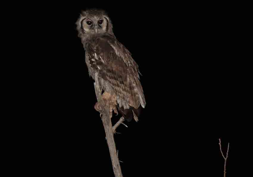 Giant eagle owl at Tau Game Lodge in Madikwe. Picture: Peter Berg-Munch