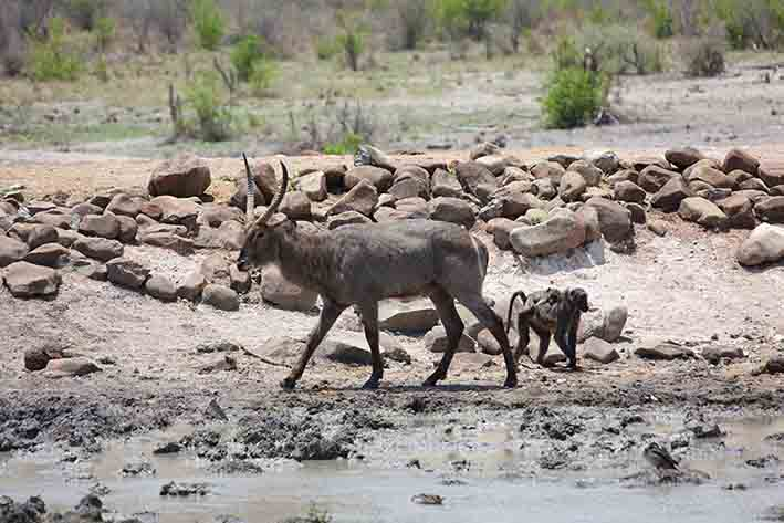 A waterbuck and a mother baboon with her baby at the waterhold as seen from my chalet deck at Tau Game Lodge in Madikwe