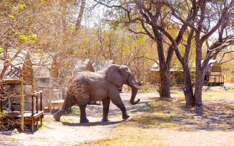 Elephants traverse the camp at O Bona Moremi Safari Lodge