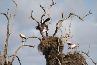 Yellow bill storks seen at Kruger. Picture: Chris Moerdyk